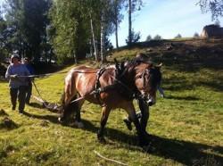 Débardage avec un cheval Ardennais Suèdois