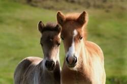 Deux poulains Islandais