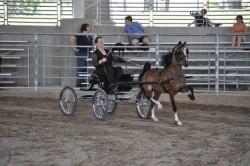 Entrainement d'un American Show Pony