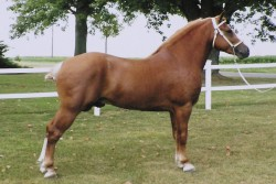 Etalon American Draft Pony au modèle