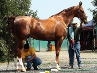 Etalon American Saddlebred en scéance de pansage