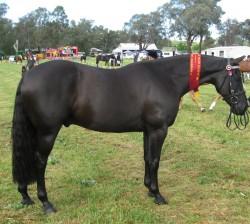 Etalon Australian Stock Horse au modèle