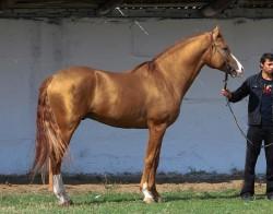 Etalon cheval du Don au modèle