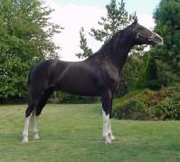 Etalon cheval Hackney au modèle