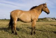 Etalon cheval Henson au modèle