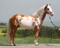 Etalon Paint Horse Overo au modèle