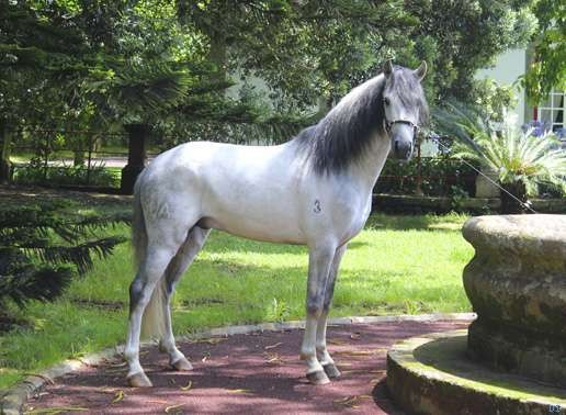 cheval de trait portugais