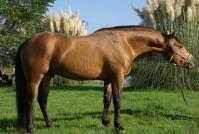 Etalon Quarter Horse au modèle