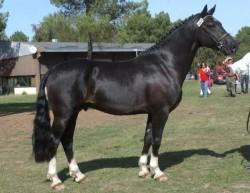 Etalon Welsh C Pony Cob au modèle