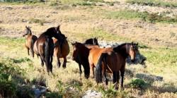 Groupe de chevaux Corse dans les montagnes