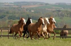 Groupe de chevaux Criollo