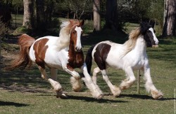 Irish cob au galop