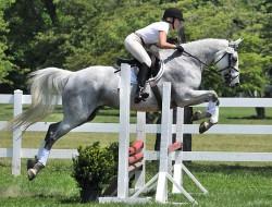 Irish Sport Horse en saut d'obstacle