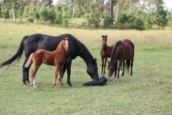 Jeunes poneys australiens au pré