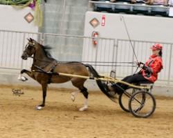 L'American Show Pony en compétition