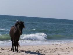 L'Asturcon sur la plage