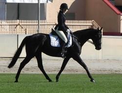 L'Australian Stock Horse en dressage