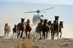 La capture des Mustangs