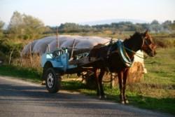 Le cheval Albanais - Myzeqea en attelage