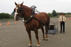 Le cheval Flamand au travail