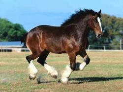 Le cheval Shire