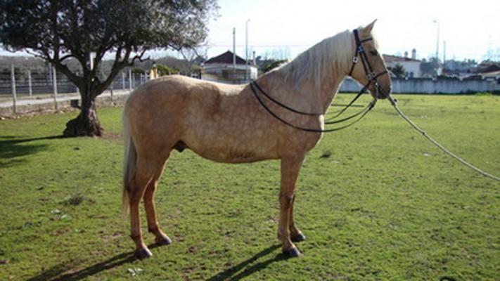 cheval espagnol cruzado
