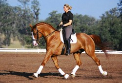Le dressage et l'American Warmblood