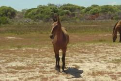 Le poney Basuto
