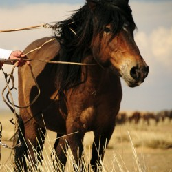 Le poney Bouriate