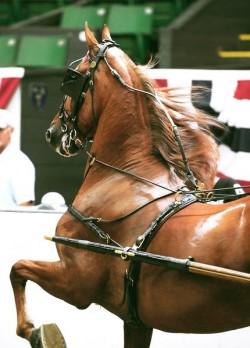Le Saddleberd attelé