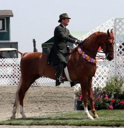 Le Saddlebred monté