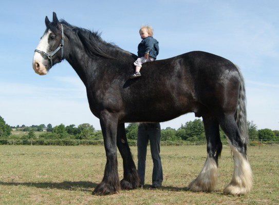 cheval de trait geant