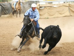 Le travail du bétail avec un Australian Stock Horse