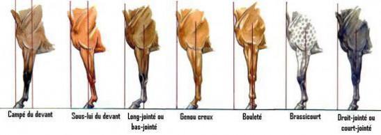 Les aplombs irréguliers antérieurs vu de profil