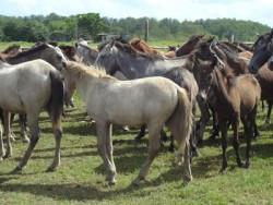 Les poneys Baixadeiro en groupe