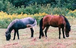Les poneys Bhirum
