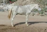 Modèle du cheval Fouta