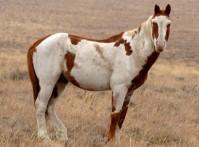 Mustang au modèle