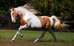 Paint Horse au galop
