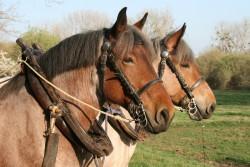 Paire de chevaux Trait belge attelée