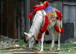 Poney Abyssinien
