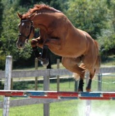 Poney American Walking Pony en saut d'obstacle en liberté