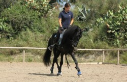 Poney Asturcon en dressage