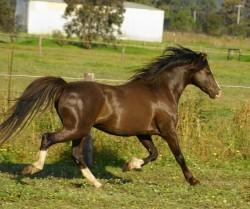 Poney Australien au galop