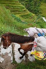 Poney Baise- Guangxi en bât
