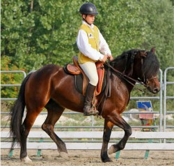 Poney Bardigiano en dressage