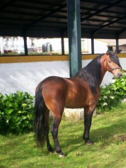 Poney des Açores