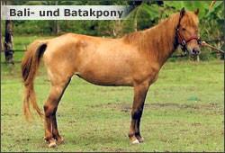 Poney du Bali au modèle