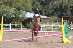 Poney Fjord en saut d'obstacle