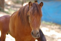 Portrait d'on poney Skyros